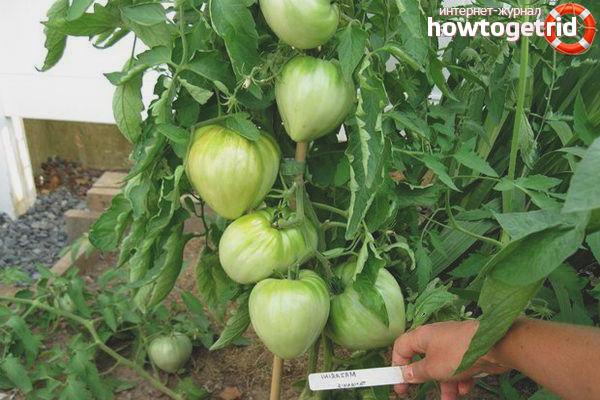 Выращивание и уход за томатами Косово