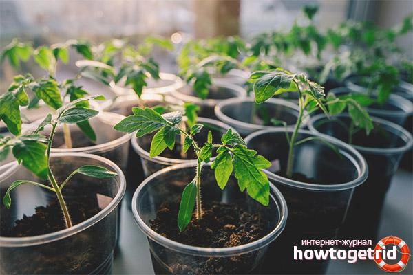 Выращивание рассады томатов Биф пинк бренди F1