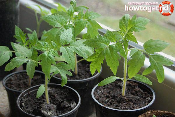 Выращивание рассады томатов Елисей