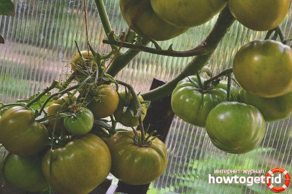 Выращивание томата Ирландский ликер