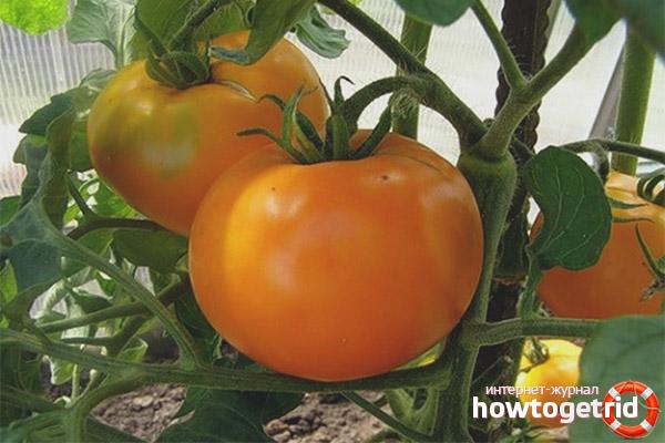 Выращивание томатов алтайский оранжевый