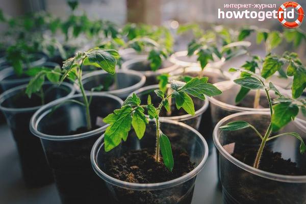 Выращивание томатов Баловень судьбы на балконе