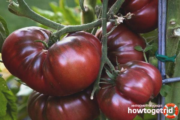 Выращивание томатов Брендивайн черный