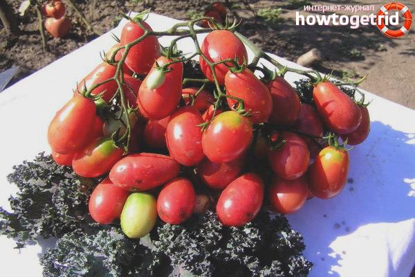Выращивание томатов Изюм