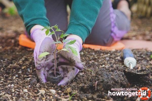 Выращивание томатов Канары
