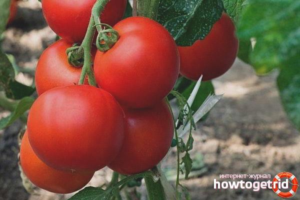 Выращивание томатов Капитан F1