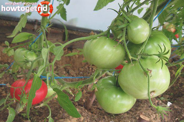 Выращивание томатов Корнеевский