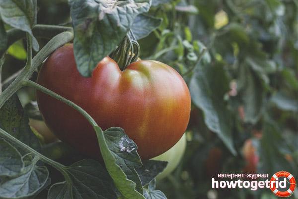 Выращивание томатов Король крупных