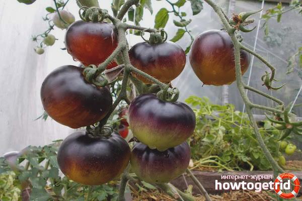Выращивание томатов Красный уголь