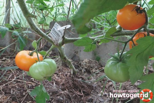 Выращивание томатов Викинг