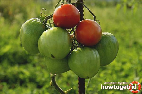 Выращивание томатов Витязь