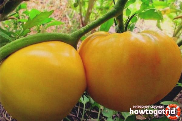 Выращивание томатов Желтый гигант