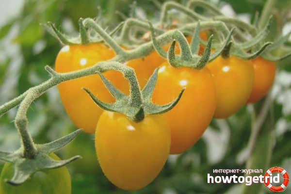Выращивание томатов Золотой дождь