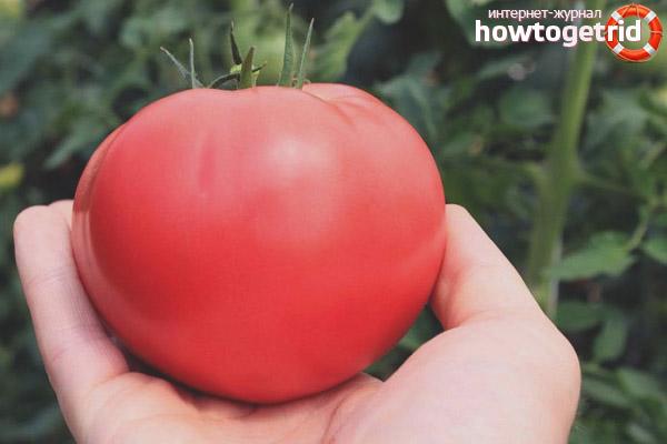Достоинства томатов Кукла Маша