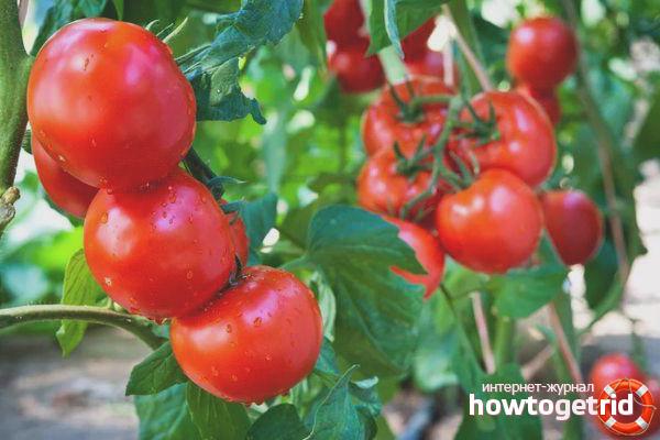 Как выращивают сорт томатов Мишель