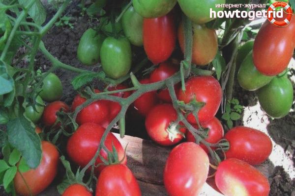 Как выращивать сорт Леденец