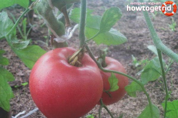 Как выращивать томат Сердцеед