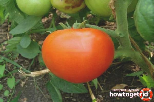 Особенности выращивания томатов Ксения