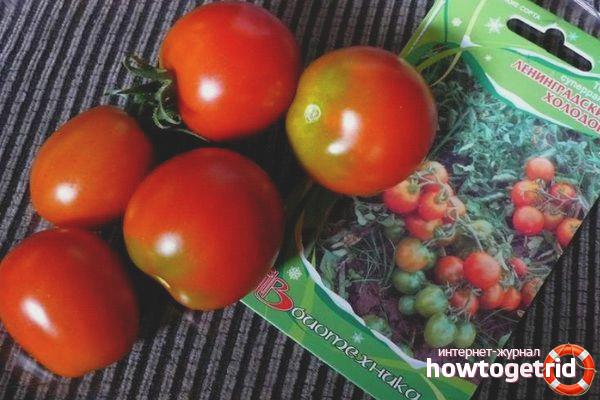 Особенности выращивания томатов Ленинградский холодок