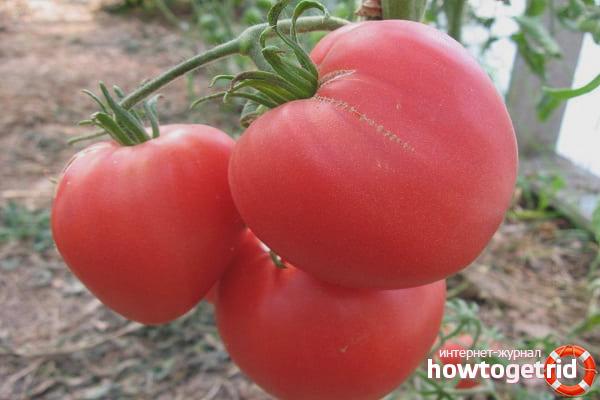 Особенности выращивания томатов Пылающее сердце