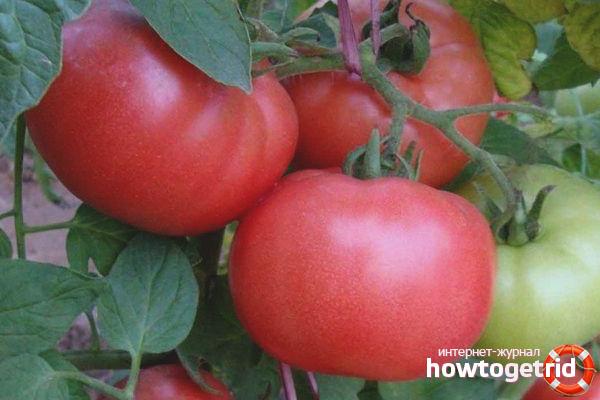 Особенности выращивания томатов Пышка