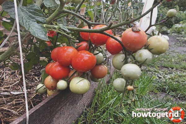 Помидоры сорта Садовая жемчужина