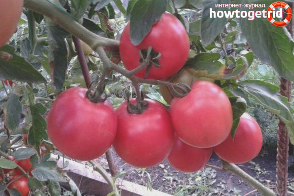 Правила выращивания томатов Малиновый рай