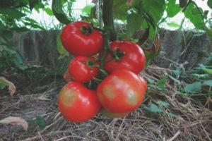 Томат Райское яблоко