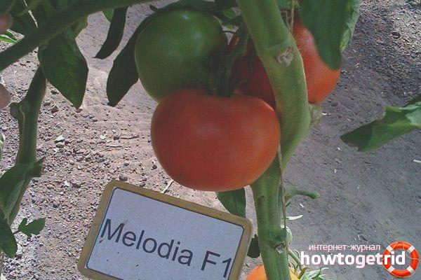 Уход за сортом томатов Мелодия F1