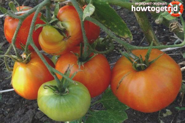 Уход за томатами Курносик