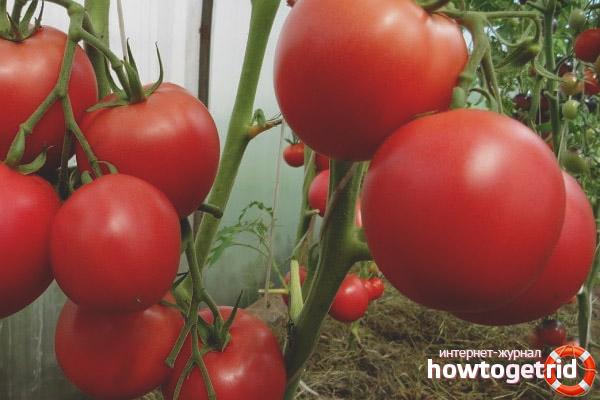 Уход за томатами Маркиз