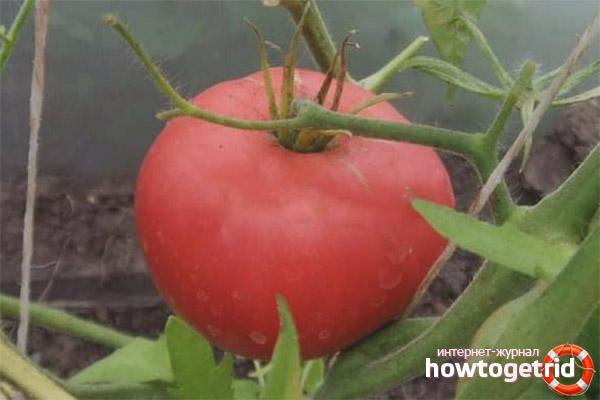 Уход за томатами Падишах