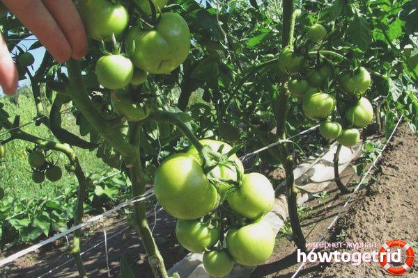 Уход за томатом Праздничный