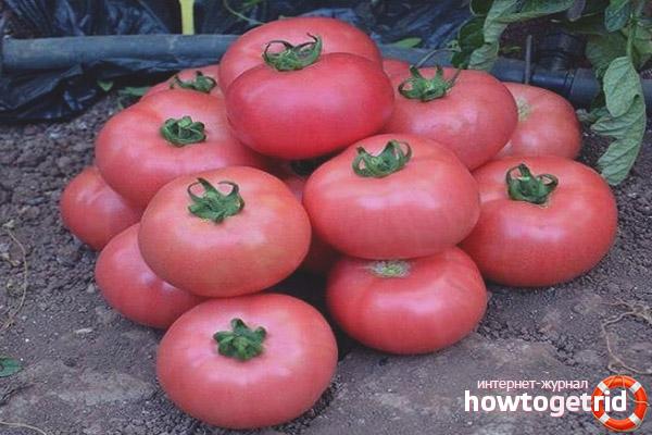 Урожайность томатов Пандароза F1