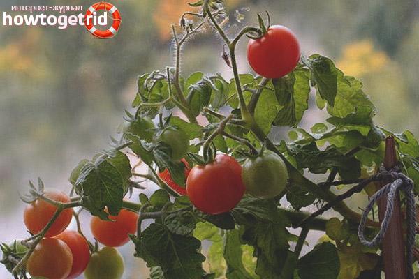 Выращивание помидор Пуговка