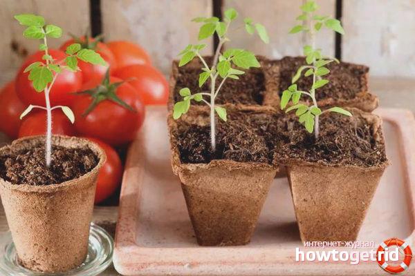 Выращивание рассады томатов Намиб