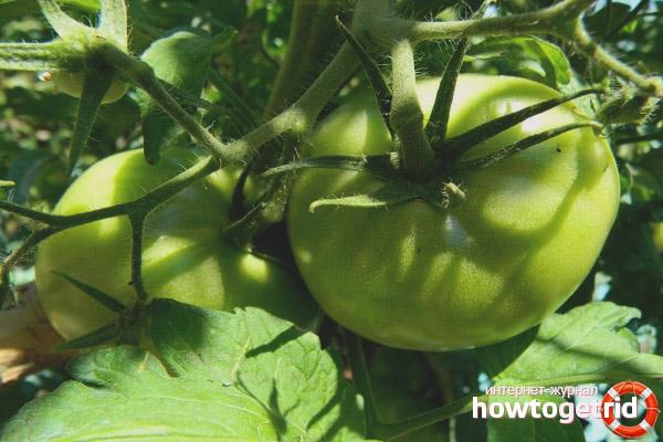 Выращивание томата Плюшкин F1