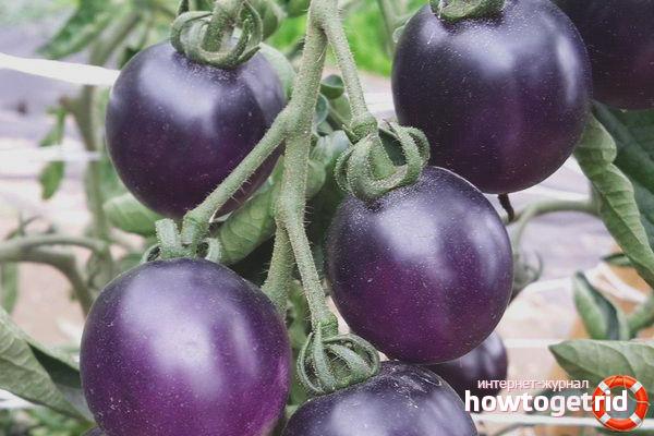 Выращивание томатов Чернично сливочный