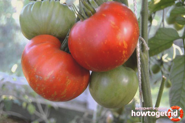 Выращивание томатов Фейерверк