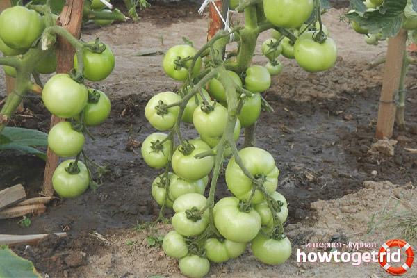 Выращивание томатов Фифти