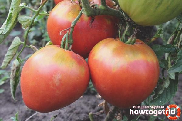 Выращивание томатов Фрекен Бок