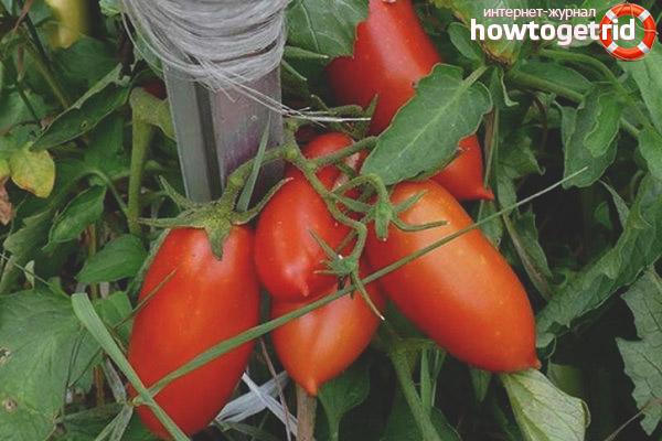Выращивание томатов Красавчик