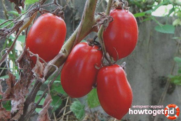 Выращивание томатов Красная сосулька