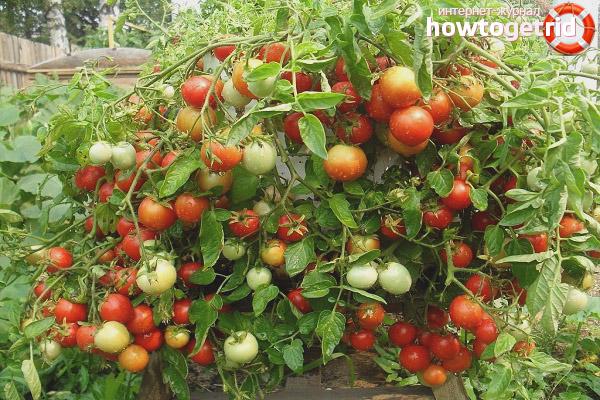 Выращивание томатов Ледник