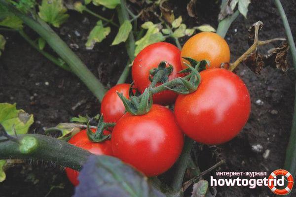 Выращивание томатов Ленинградский скороспелый