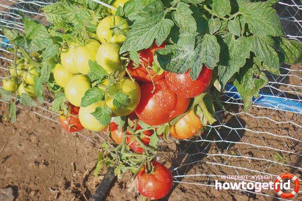 Выращивание томатов Любимец Подмосковья