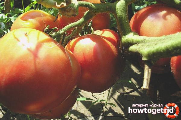 Выращивание томатов Любовь земная