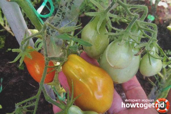 Выращивание томатов Людовик 17