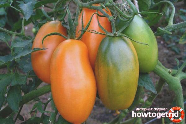 Выращивание томатов Локомотив