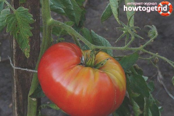 Выращивание томатов Лопатинские
